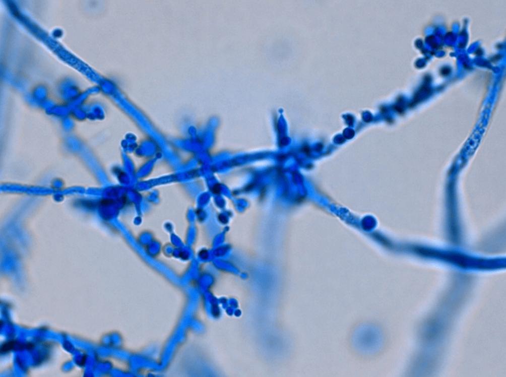 Trichoderma-Fungi