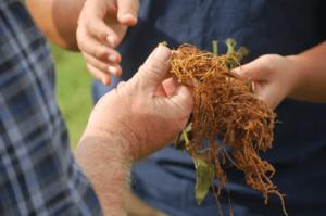 root-damage
